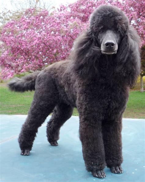 poodles long hair in winter hershey thumbnail