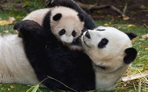 images of panda bears baby panda wallpaper wallpapersafari