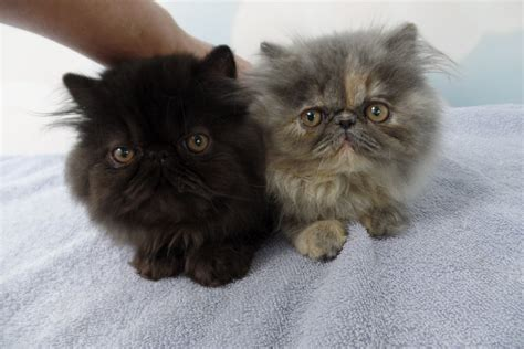 persian cats in orlando my persian kittens persian coming home to my two persian kittens on the second day