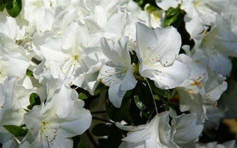 Azalea White white azalea wallpaper