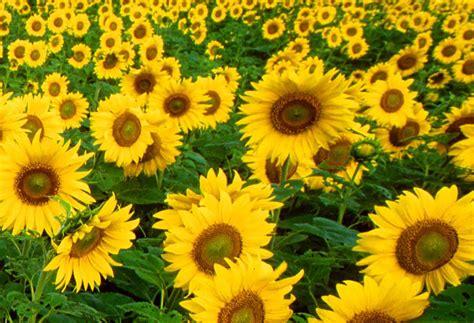 mrs m s maths musings turing s sunflowers
