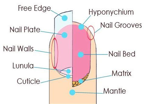 nail bed anatomy squoval nails pictures nail body 2 nail root 3 free edge