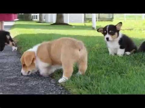 pembroke corgi puppies for sale in corgi puppies for sale doovi
