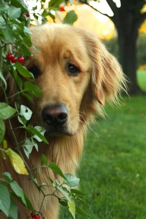 buzzed golden retriever the hardest golden retriever quiz you ll take