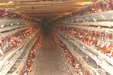 Termometer Kandang battery hens backyard chickens community