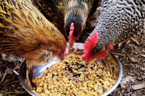 Bungkil Kedelai Untuk Pakan Ayam membuat pakan alternatif untuk ayam petelur mudah dan