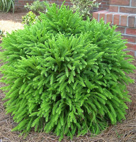dwarf shrubs evergreen cryptomeria globe zones 5 7 sun to part shade 2 3 ft dome can grow to 4 8 ft