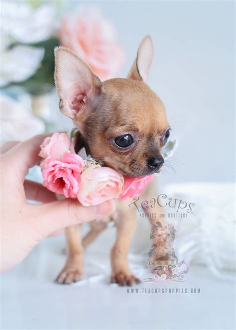 chihuahua puppy for sale fawn chihuahua puppies for sale in florida teacups puppies boutique