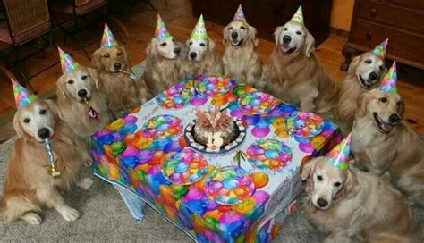 golden retriever birthday pictures birthday golden retriever puppy golden retriever puppy car pictures