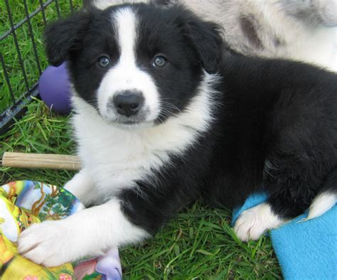 collie puppy collie border puppies www imgkid the image kid has it