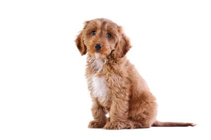 best mixed breed dogs most popular mixed breed dogs