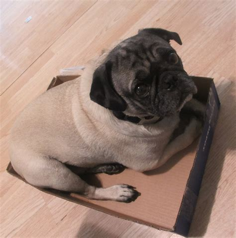 when do pugs go into heat how to find your pets perfectweight emily reviews