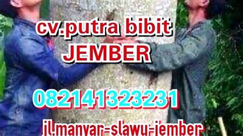Bibit Sengon Jember bibit biji benih sengon solomon jaguar asli jember di cv