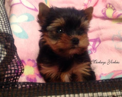 yorkie mix puppies for sale in mn teacup yorkie puppies for sale in wisconsin breeds picture