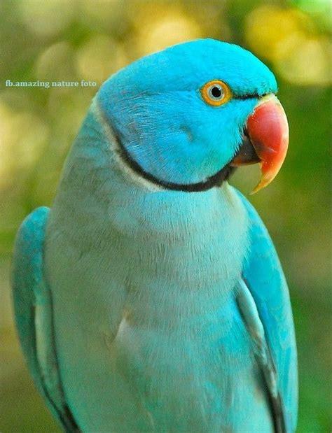blue ringneck parrot birds and bats pinterest