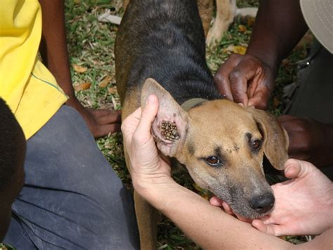 ticks in dogs ear aware what we do prophylactic caigns