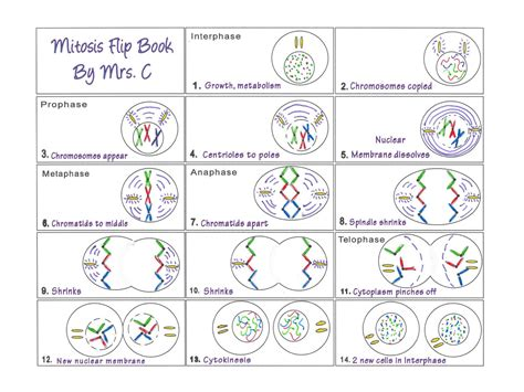 At Becker Middle School Mitosis Flip Book Exle