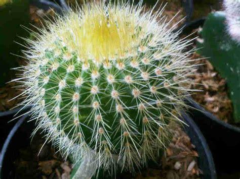 peluang usaha budidaya kaktus  analisa usahanya agrowindo