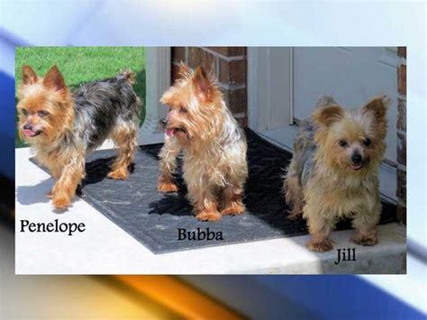 yorkies in colorado rescued terriers brought to denkai animal shelter in colorado denver7