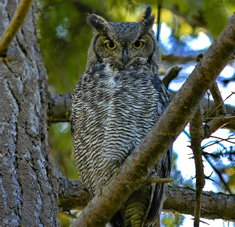 north carolina mountain birds great horned owl