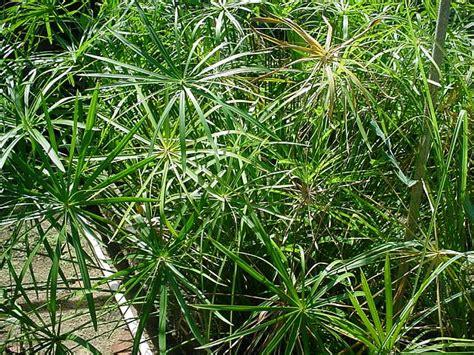 Tanaman Passiflora Palmana mondocdp cdp citelli piante velenose
