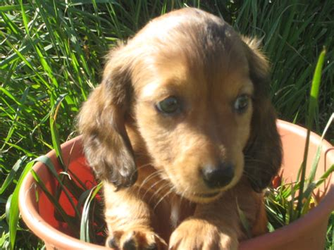 miniature dachshund puppies for sale in missouri mini dapple dachshund puppies for sale in missouri