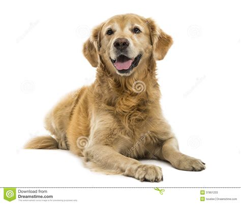 golden retriever panting golden retriever lying panting 11 years isolated stock photos image 37851233