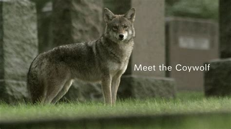 Search Meet Meet The Coywolf Nature Pbs