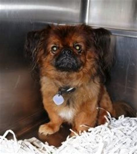 pekingese pomeranian mix for sale www dogbreedspicture net 522 connection timed out