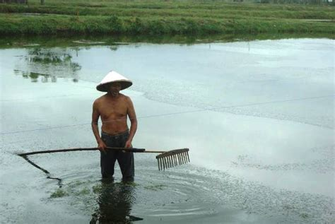 Bibit Vaname petani pilih budidaya udang vaname website resmi