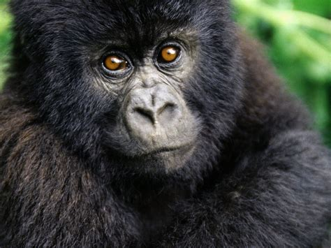 monkey and monkeys images gorilla hd wallpaper and background photos 14750686