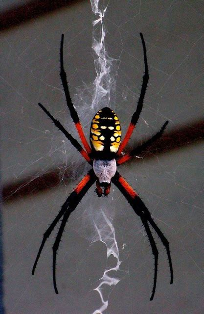 spider with yellow pattern on back a group of the finest and most beautiful rare spiders