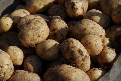 wann erntet ã pfel kartoffel anbauen kartoffeln anbauen auch im eimer m