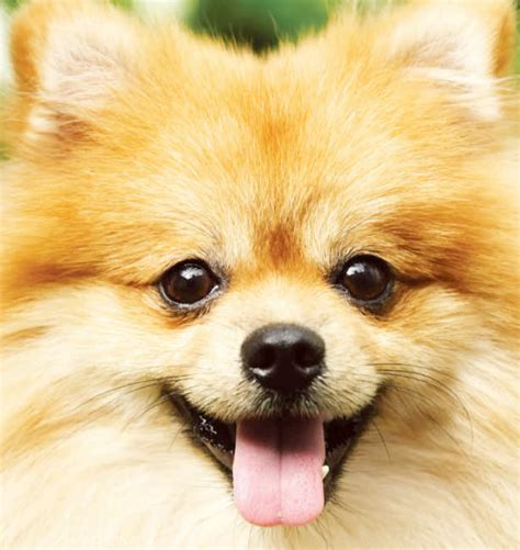 where pomeranians come from facts about pomeranian dogs