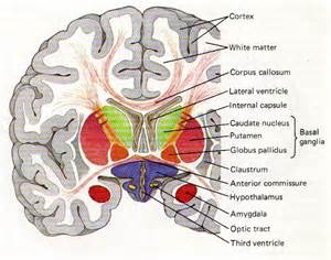 coronal sections of brain obligatory anatomy diagram of the day coronal slice of the