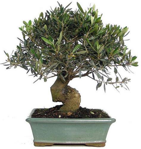 Benih Tanaman Bonsai benih zaitun olive tree