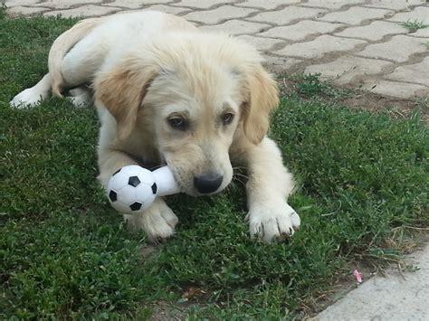 golden retriever blogs a golden retriever tartasa dogs our friends photo