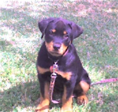 how big is a rottweiler how big is a rottweiler at 3 months photo