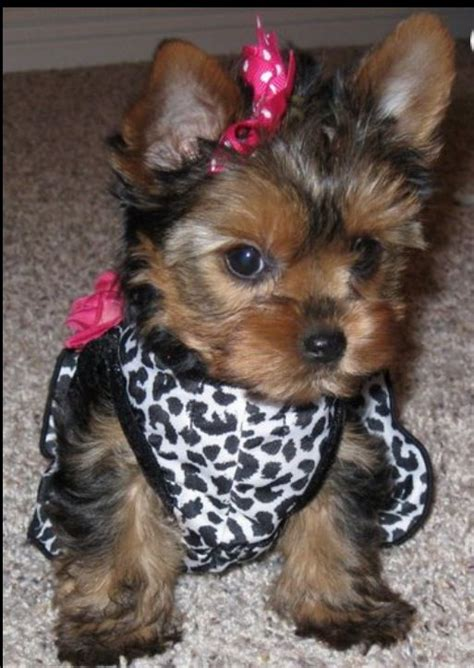 i want a teacup yorkie 41 best images about teacup pomeranian on