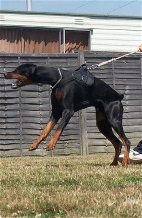 best house dogs for protection five best personal protection dog breeds dobermans house and trainers