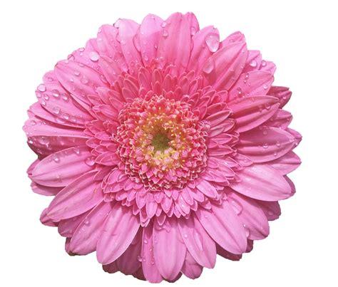 imagenes rosas grandes gifs y fondos pazenlatormenta im 193 genes de flores grandes
