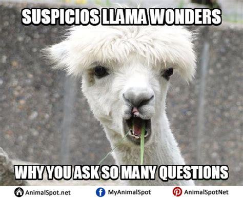 Shaved Llama Meme - llama memes