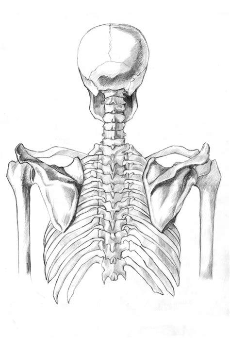 human skeleton 4 by barbiedeplastico on deviantart
