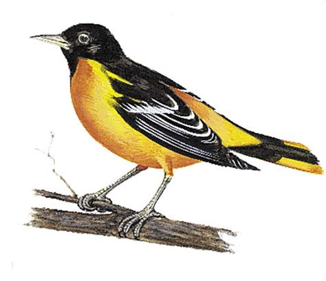 maryland state bird history and crafts