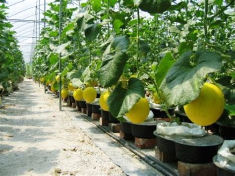 autopot media  sweet melon project banting malaysia