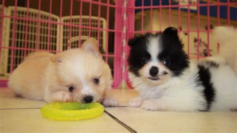 malti pom puppies for sale beautiful black and white malti pom puppies for sale in at puppies for sale