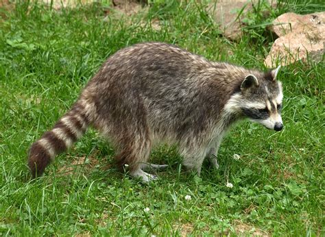 raccoon images free photo raccoon animal fur free image on
