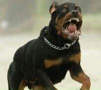 rottweiler dangerous dogs list what are some of the most dangerous breeds quora