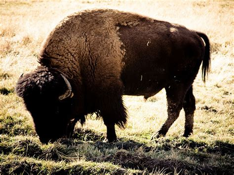 Buffalo L by Buffalo Dies At Golden Gate Park After Chased By Small