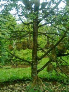 Bibit Buah Kiwi Di Indonesia bibit buah langka durian musangking